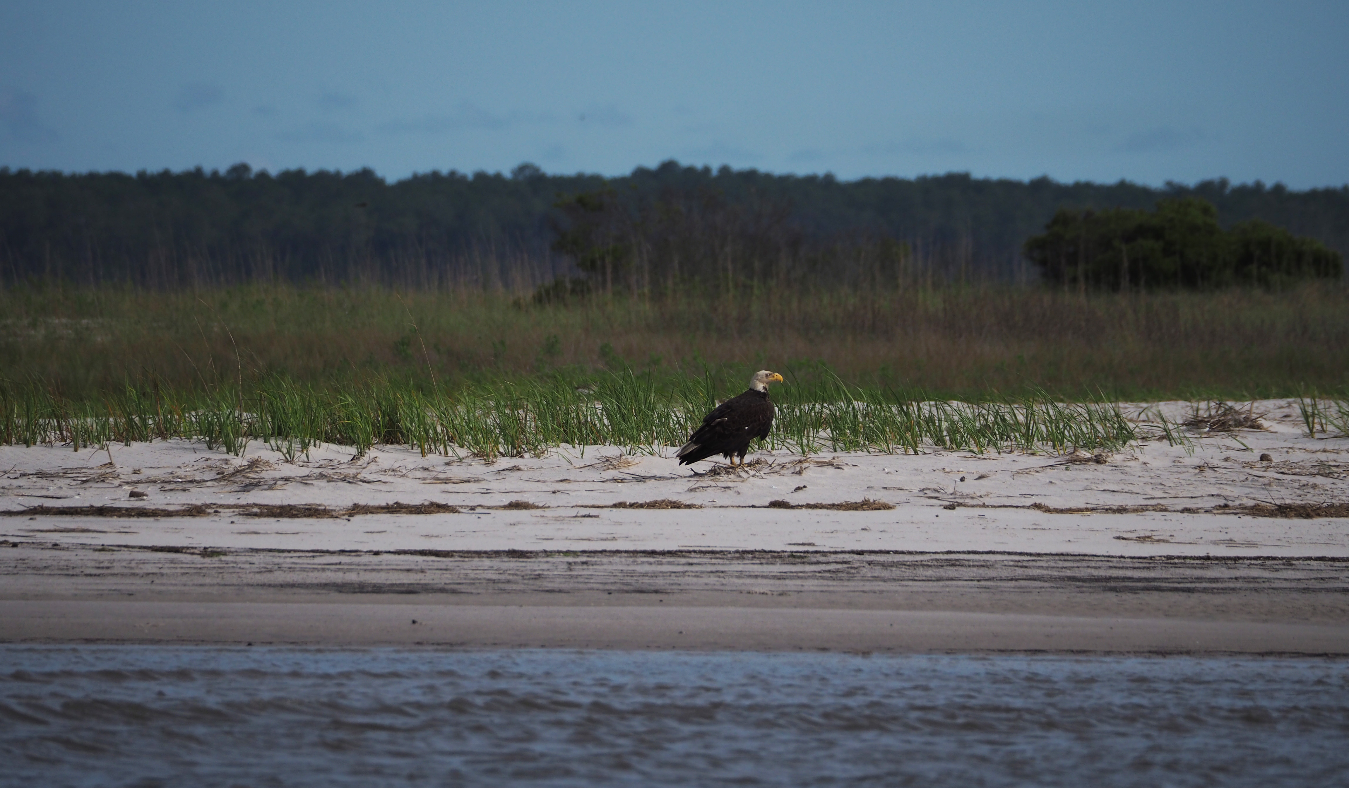 Our shorebird counts are sometimes disrupted, such as when this eagle decided to visit the beach in the middle of our count.